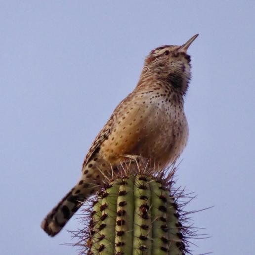 cactuswren
